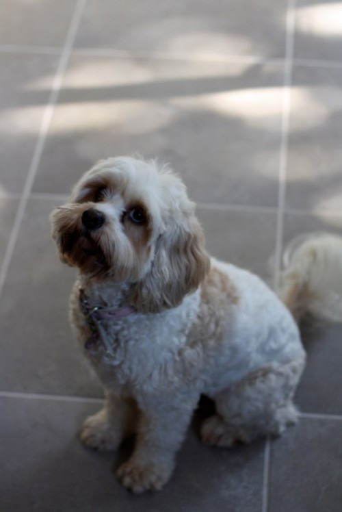 A small white and coffee coloured soft furry dog is sitting on large cream tiles, and staring up at something beyond the top left of the photo.