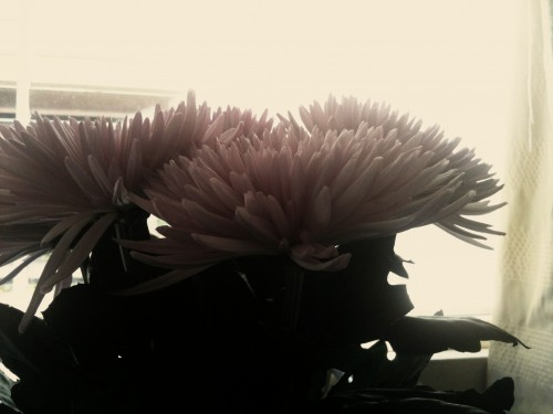 A pinkish toned whimsical photo of three chrysanthemum heads.