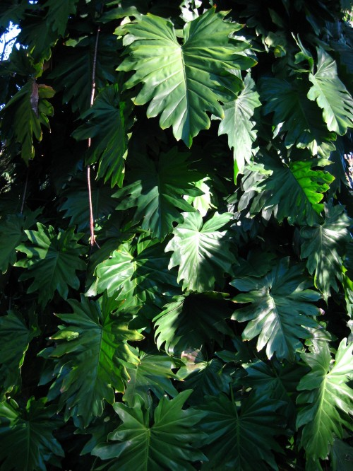 Broad green leaves cover the trunk of a tree and form a tesselating kind of pattern