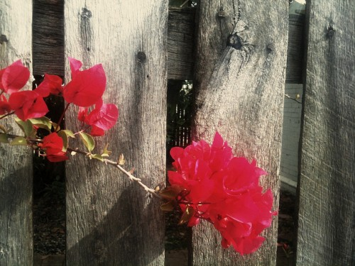 Photo of a bougainvillea branch against an unpainted wood fence; the flowrs are bright fucshia.