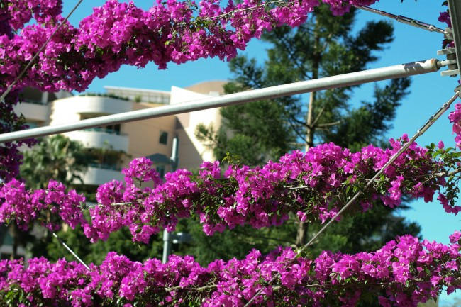 Photo of purple bougainvillea wrapped around three wires.