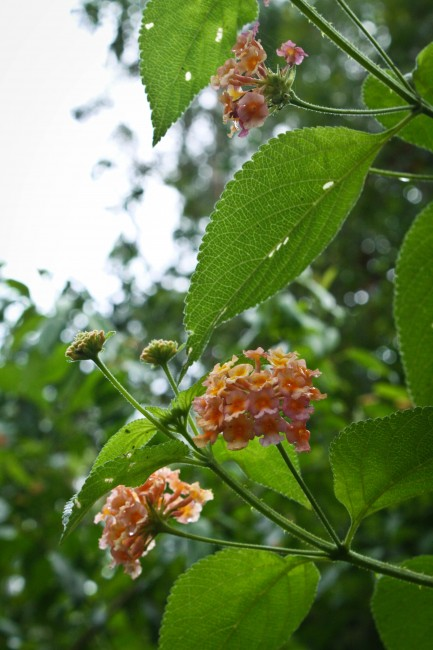 Photo of two small heads of tiny yellowy/ orange flowers amongs green leaves.