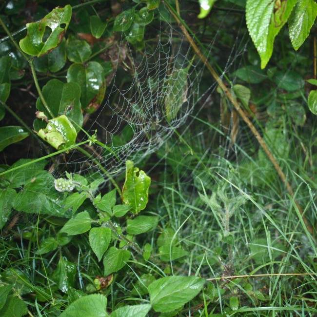 Photo of spider webs full of water droplets in green shrubbery.