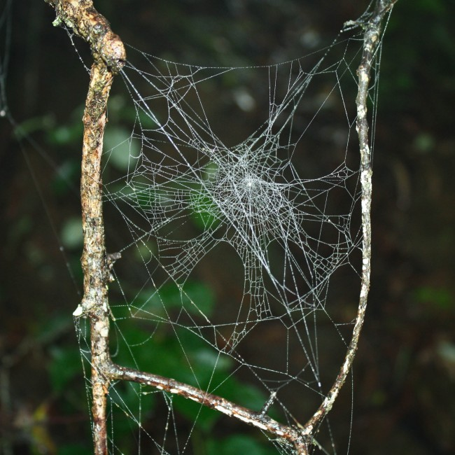 Photo of spider webs attatched to two twiggy looking sticks.