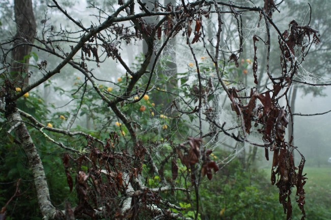 Photo of spiderwebs all over a tree with dark brown leaves, in the background is very foggy bushland.