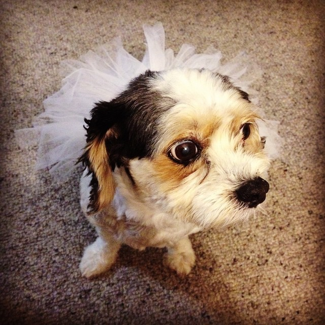 Jess the cavalier/ maltese cross wearing a tutu I made for her.